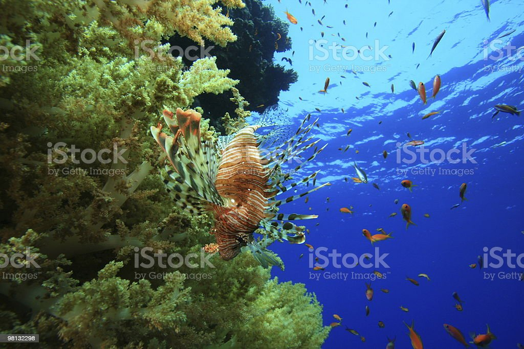 Soft corals and Lionfish royalty-free stock photo