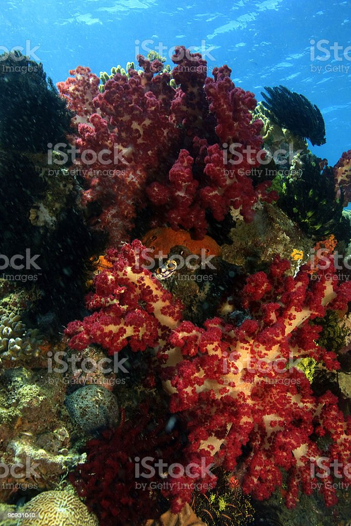soft corals royalty-free stock photo