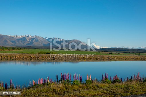 Wildflowers growing in spring along still calm Ohau Canal with typically South Island landscape to Southern Alps behind