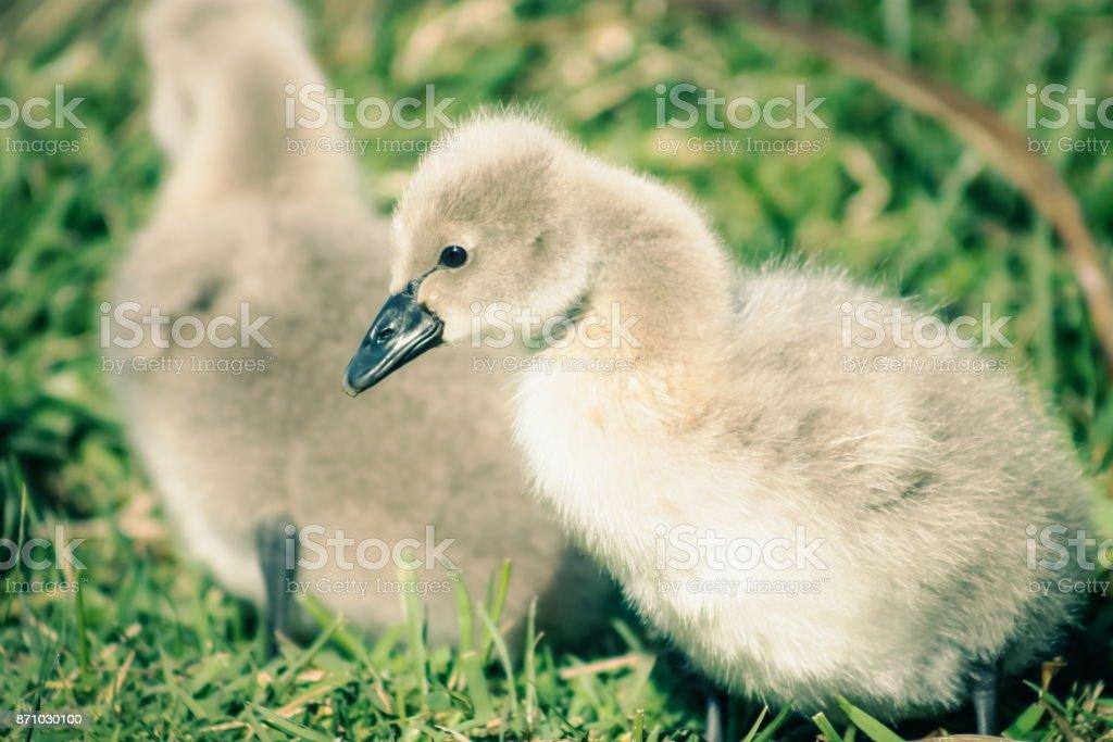 A soft cute Black Swan Cygnet stock photo