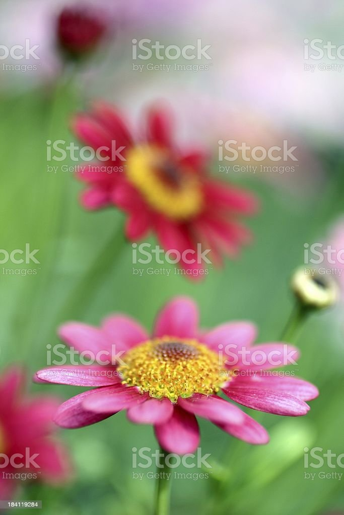 Soft Marguerites royalty-free stock photo