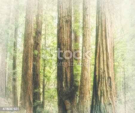 Soft dreamy romantic forest natural background of giant redwood trees (Sequoia sempervirens) Muir Woods, Mill Valley, California, USA. The Muir Woods National Monument is an old growth forest of coast redwoods aka California redwoods. S. sempervirens are the tallest trees on earth. The original photograph on which this romantic natural background image is based is also available in my portfolio. Copy space.