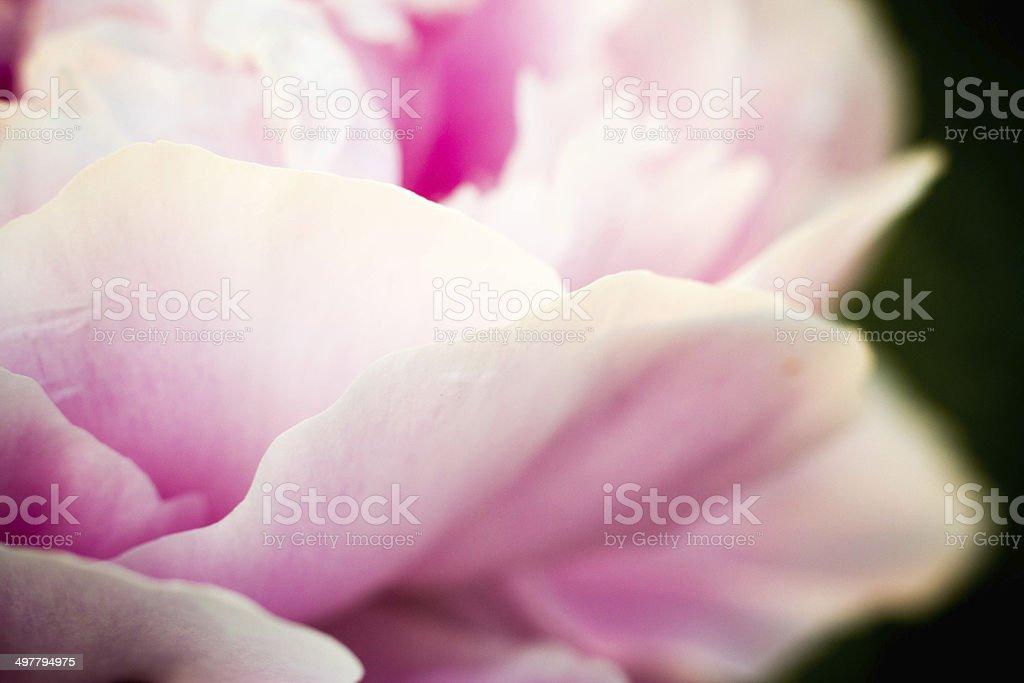 Soft Flower Petals stock photo