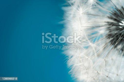 Soft fluffy dandelion seeds