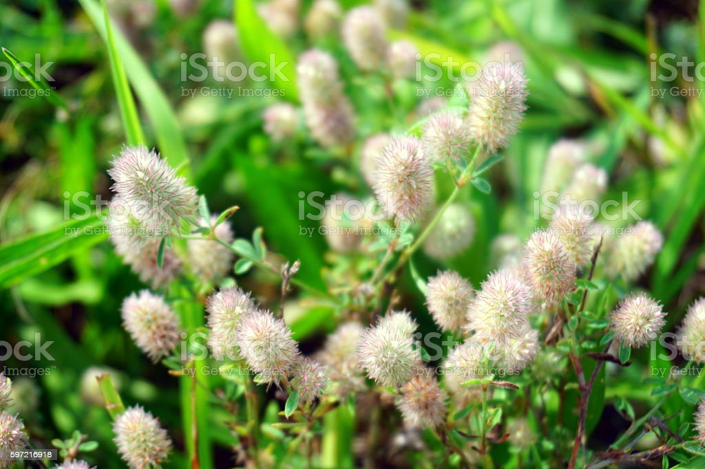 Soft fluffy hare's-foot, flowers of wild clover. Trifolium stock photo