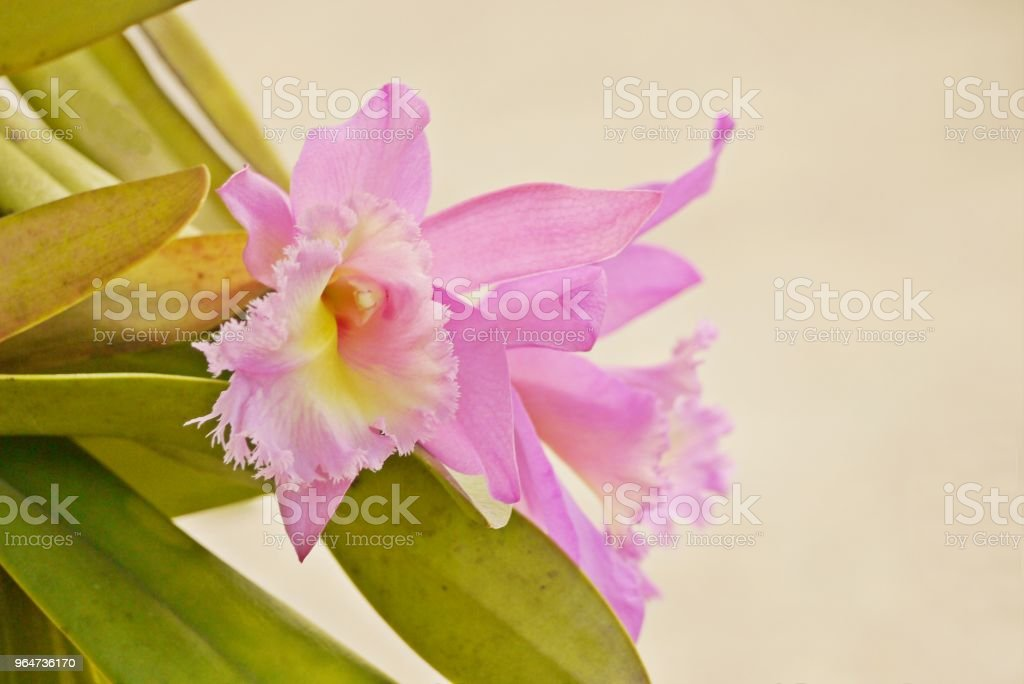 Soft focus beautiful  pink orchid flower on plant  with copy  space for background, Pink Cattleya flower. royalty-free stock photo