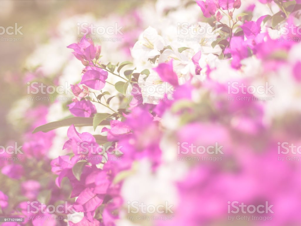 Soft Focus Bougainvillea Paper Flower Stock Photo More Pictures Of