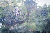 soft focus Golden Orb-weaver Nephila maculata spider