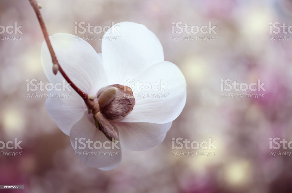 Soft focus image of magnolia flowers under sun light. spring season background royalty-free 스톡 사진