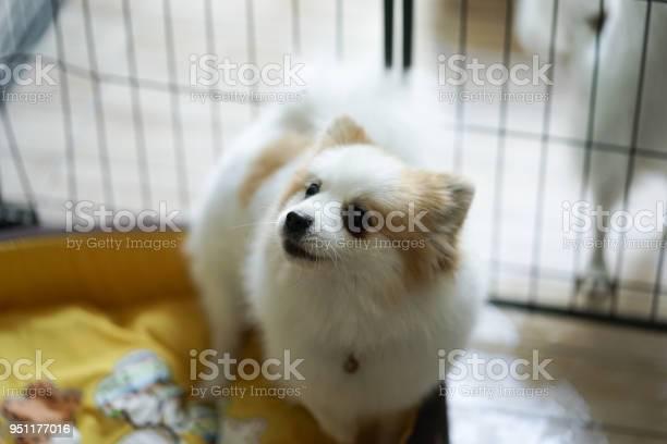 Soft focus of a cute dog pomeranian dog picture id951177016?b=1&k=6&m=951177016&s=612x612&h=cy umyxqpqm8rgizzuowf9xu2bdnxoatwmp 1fdbgfm=