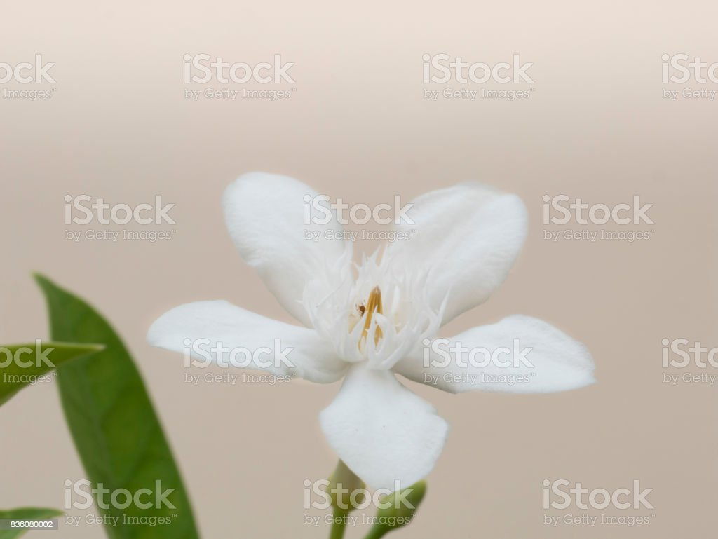 Soft focus of blooming white Inda flower as a symbol of purity and virgin and an ant at the middle of the flower stock photo