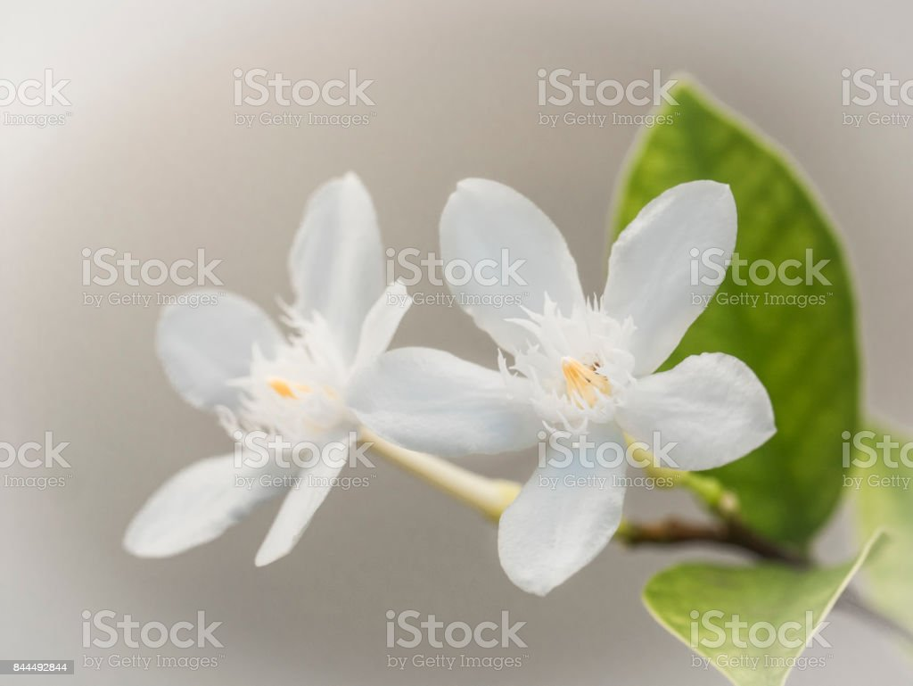 Soft focus of blooming white Inda flower as a symbol of purity and virgin stock photo