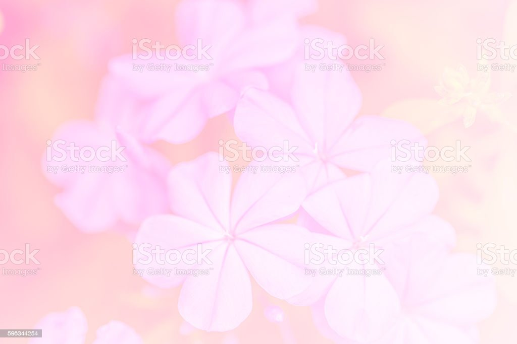 Soft focus of cape leadwort for background royalty-free stock photo