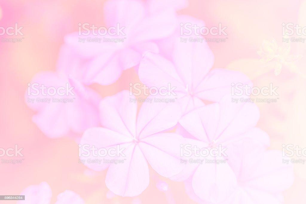 Soft focus of cape leadwort for background Lizenzfreies stock-foto