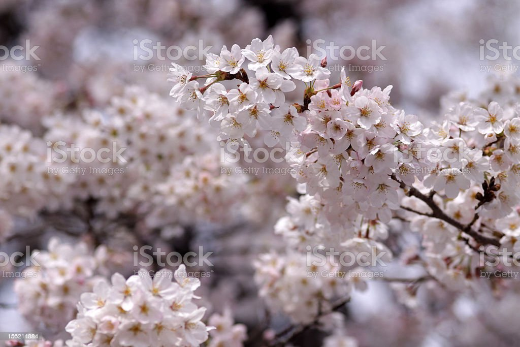 Soft focus of Japanese cherry blossoms in full bloom stock photo