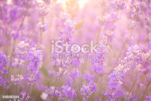 519188550istockphoto Soft focus of lavender flowers under the sunrise light 546460344
