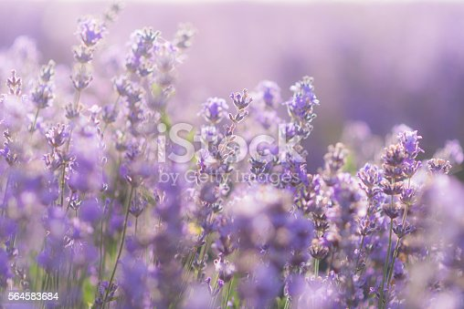 519188550istockphoto Soft focus of lavender flowers under the sunrise light 564583684