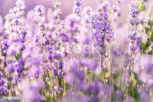 519188550istockphoto Soft focus of lavender flowers under the sunrise light 564583954
