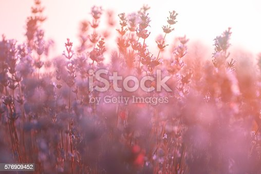 519188550istockphoto Soft focus of lavender flowers under the sunrise light 576909452