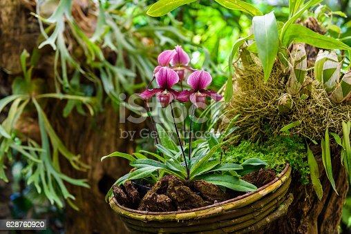 Soft focus of Paphiopedilum charlesworthii is a species of plant in the Orchidaceae family