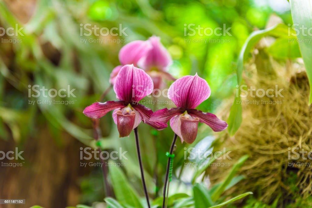 Soft focus of Paphiopedilum charlesworthii is a species of plant stock photo