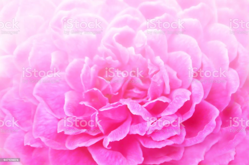 Soft Focus Of Pink Rose Nature Wallpaper Background Stock