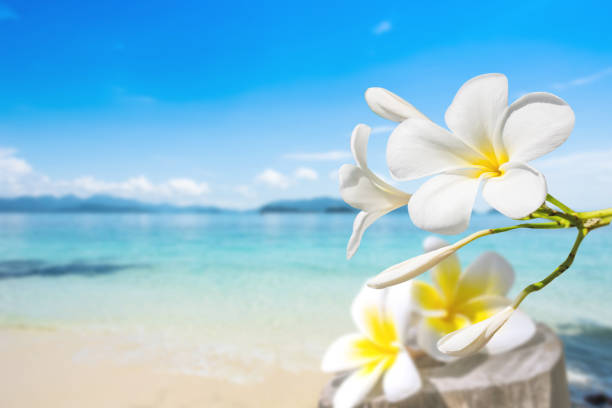 soft focus of Plumeria with white sand and beautiful blue sea over clear blue sky. stock photo