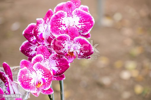 istock Soft focus of purple orchid flowers with blurry background (Cypripedioideae) 898979434