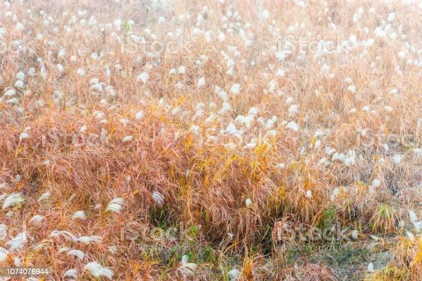 Soft focus of silver grass flowers field in autumn season picture id1074076944?b=1&k=6&m=1074076944&s=612x612&h=7w4phqyv1m6b09xj7tefnxydi7dpytru8uwleowdw o=