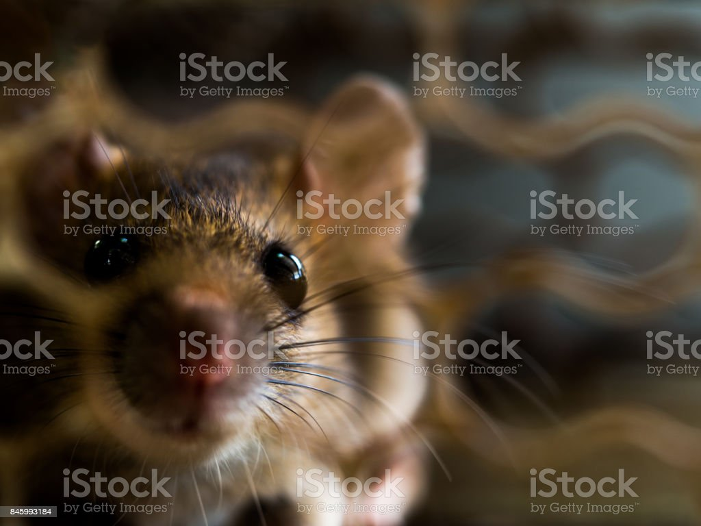 soft focus of the rat was in a cage catching a rat. the rat has contagion the disease to humans such as Leptospirosis, Plague stock photo