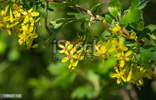 istock Soft focus of yellow Ribes aureum flower blooming. Flowers golden currant, clove currant, pruner berry and buffalo currant on green bokeh background. Nature concept for design. Place for your text 1269331100