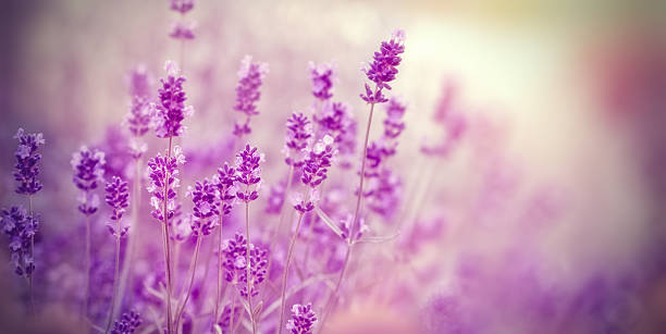 soft focus on lavender flower - soft focus stock photos and pictures