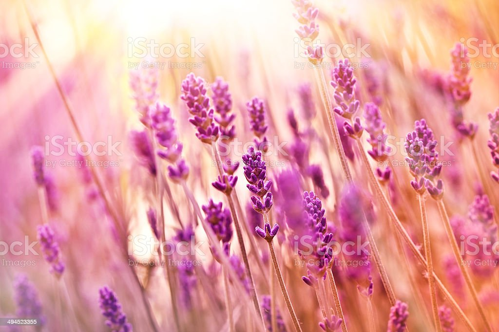 Soft focus on lavender lit by sunlight stock photo