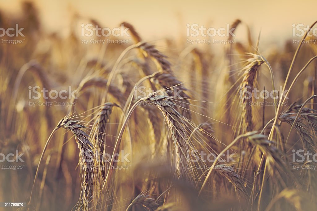 Soft focus on wheat field in late afternoon stock photo