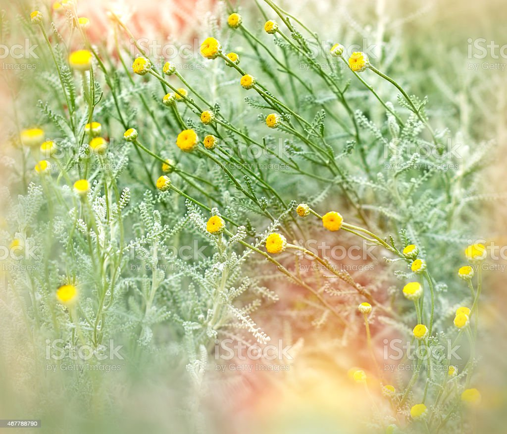 Soft Focus On Yellow Flowers Stock Photo More Pictures Of 2015