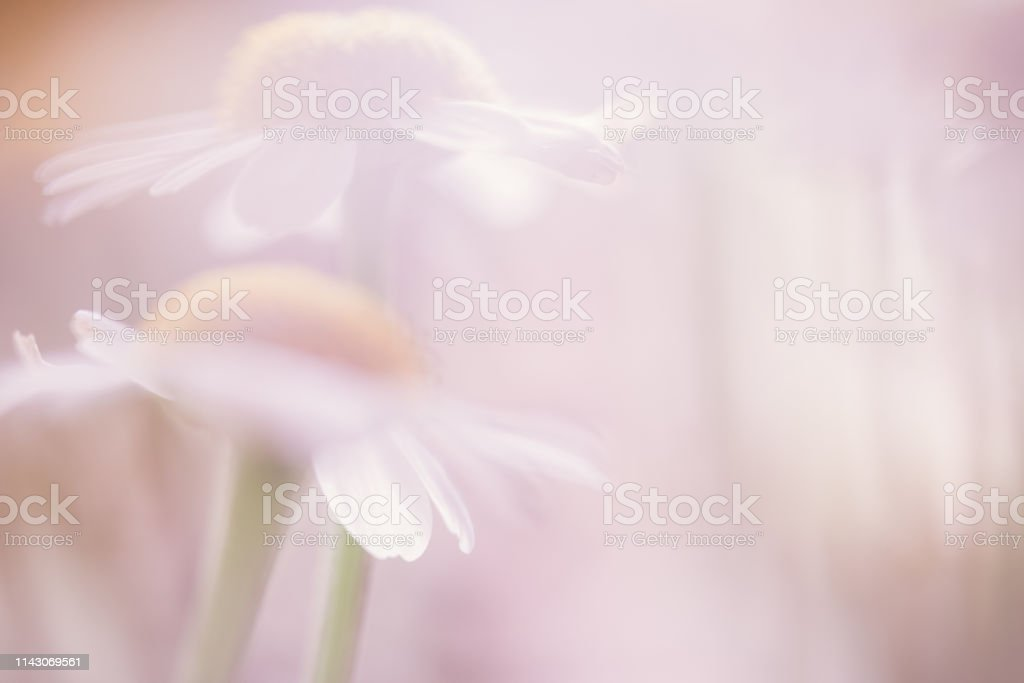Soft Focus Pastel Colored Daisy Flower Background with Copy Space stock photo