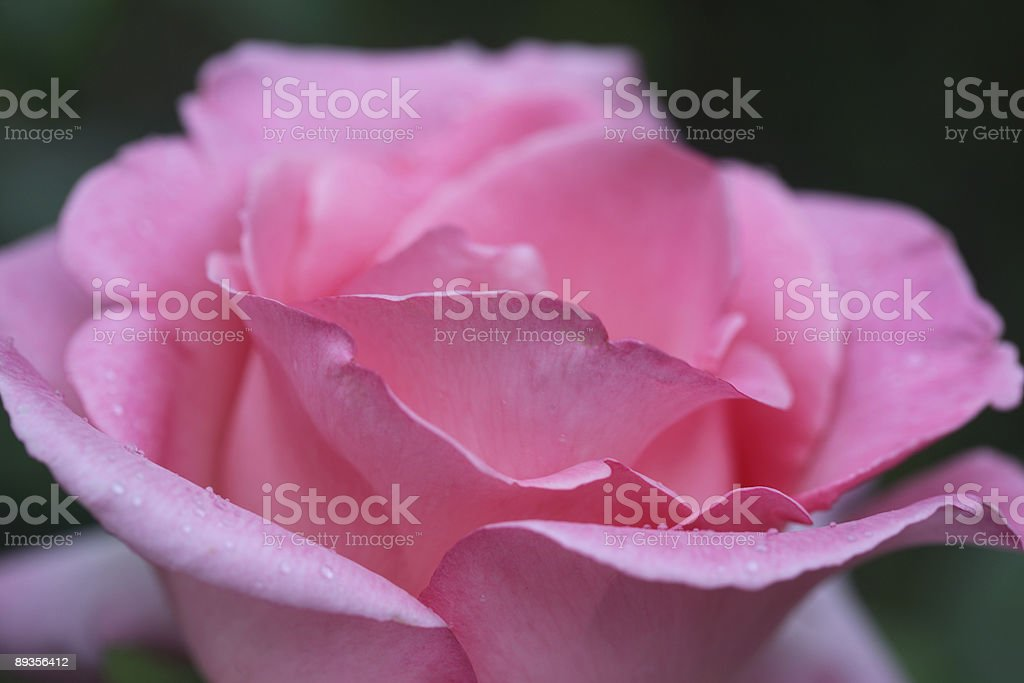 Soft Focus rosa foto stock royalty-free