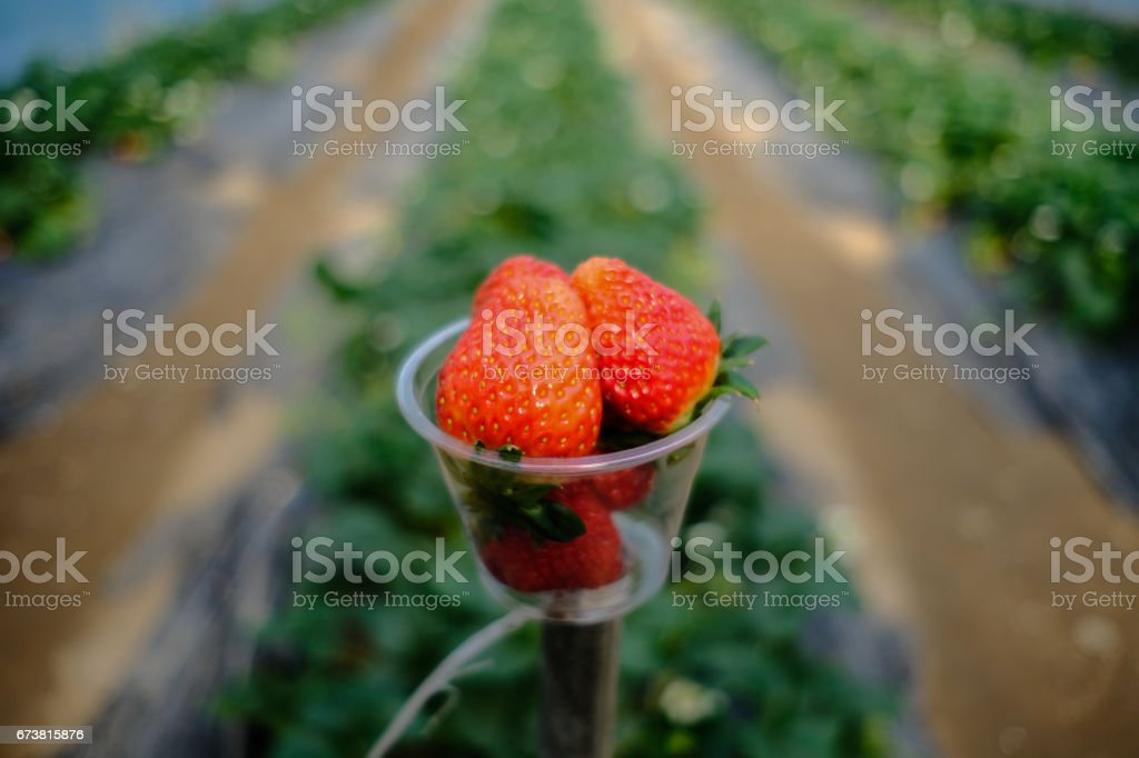 Soft Focus fraise dans un gobelet en plastique dans un parc.-(mise au point sélective) photo libre de droits