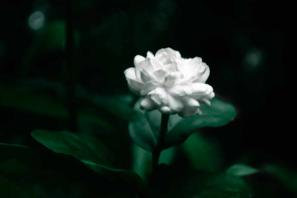 soft focus  white jasmine  flower spring nature background stock photo