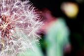 Soft fresh white dandelion head closeup on dark bright natural background in garden