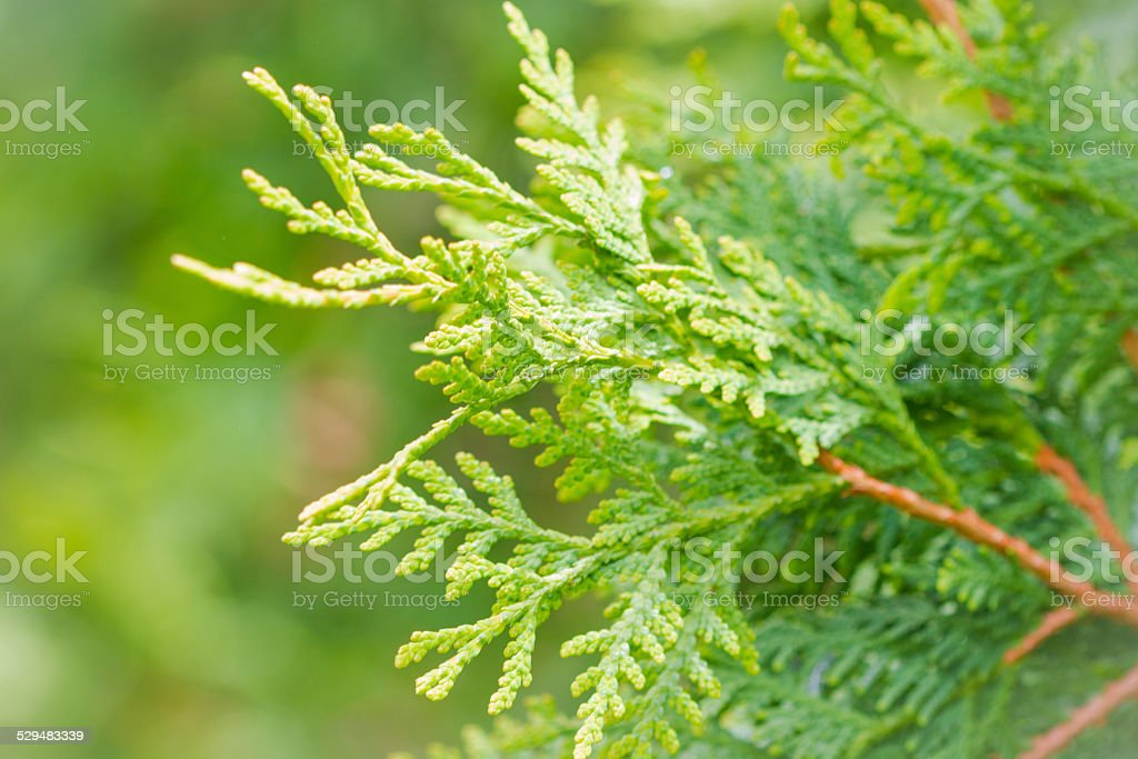 Soft Green Cedar Evergreen Background With Copy Space stock photo