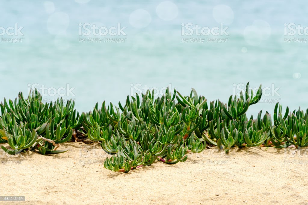 Soft Green Crawling Plant on Beach royalty-free stock photo