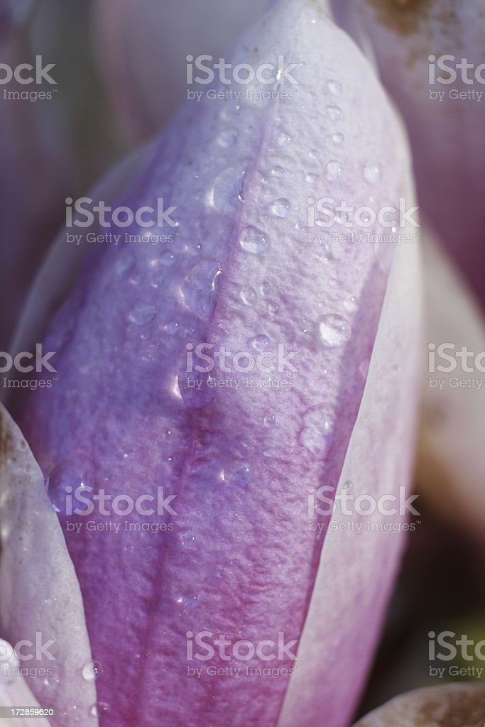 Soft pink purple magnolia bloom petals with raindrops royalty-free stock photo