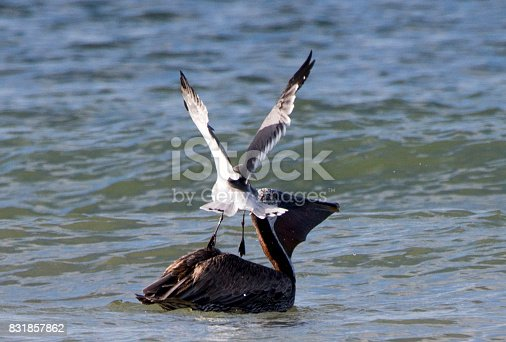 Laughing Gull alights onto the back of a Brown Pelican.
