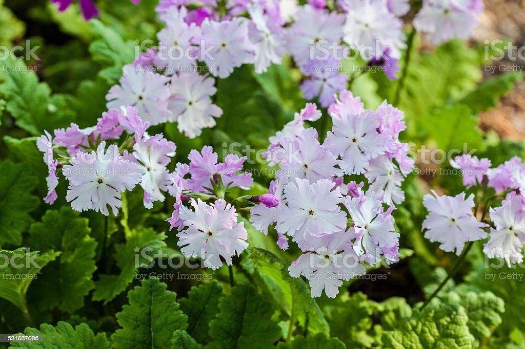 soft mauve dianthus stock photo