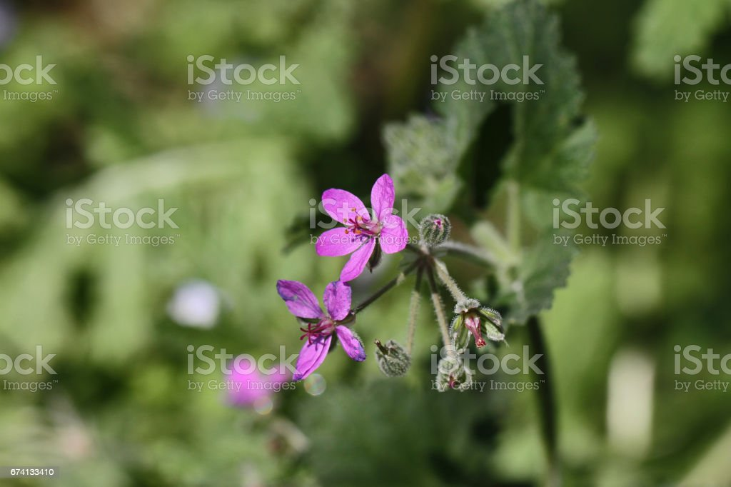 Soft or mallow-leaved stork's-bill Latin name erodium malacoides the geraniaceae or geranium family in Italy stock photo