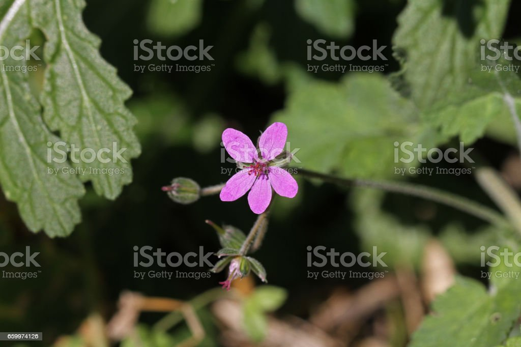 Soft or mallow-leaved stork's-bill or Latin name erodium malacoides the geraniaceae or geranium family in Italy stock photo
