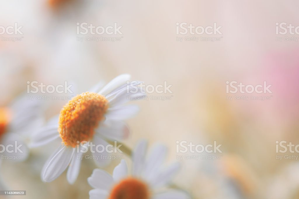 Soft Pastel Colored Daisy Flower Background with Copy Space stock photo