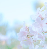 istock Soft  pastel pink  flower vintage background for special events . 1023197508