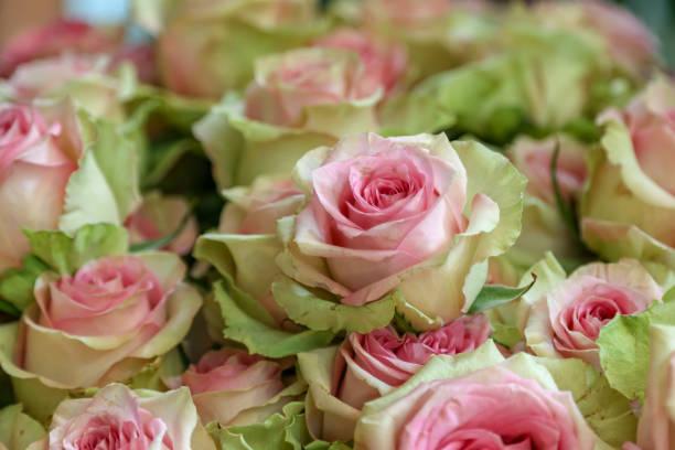 weiche rosa und grüne rosenblüten - eine blume sitzt über den anderen - hochzeitsreise amsterdam stock-fotos und bilder